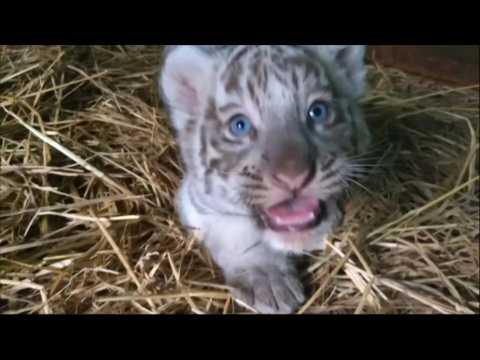 Peruvian zoo shows off newborn Bengal tiger cubs