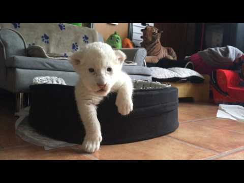 Two white lion cubs born in France refuge