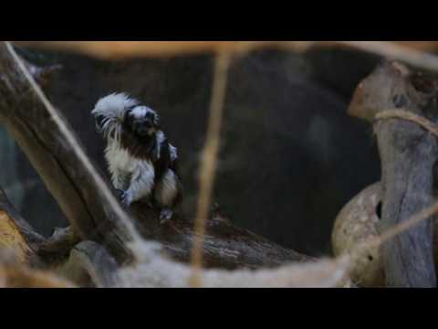 Birth of cotton top-tamarin monkey brings hope for species survival