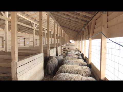 Rescued sheep await adoption in Romania after surviving capsize