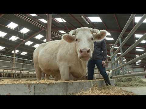 """""""Idéale"""", Charolais cow, muse of Paris Agriculture Show"""