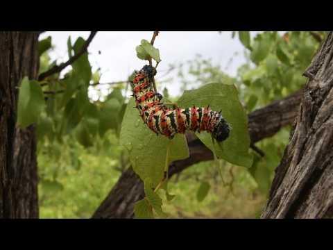 Botswana's edible caterpillars decimated by drought