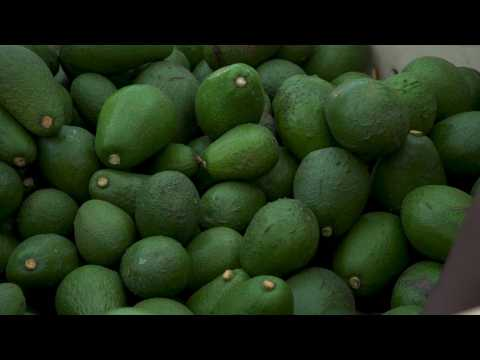 'Green gold': Avocado boom drives crop theft in South Africa