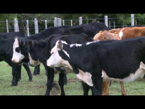 Beef-addicted Uruguay aiming to make farming greener