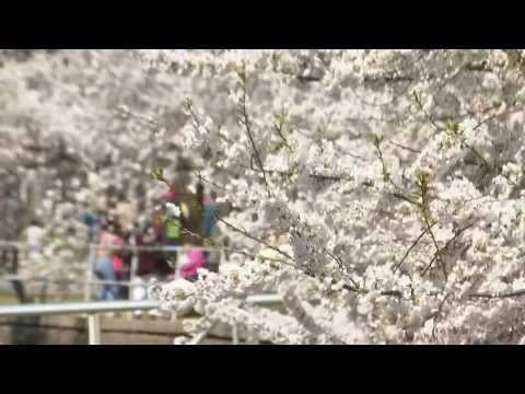Washingtonians enjoy cherry blossoms in early peak bloom