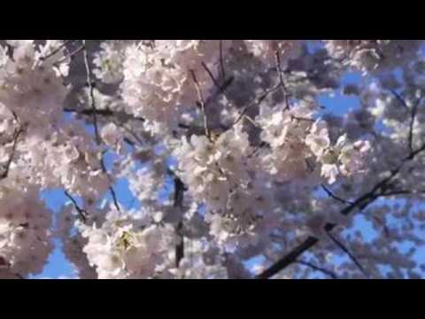 Cherry trees bloom earlier this year in Washington