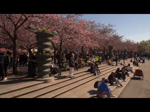 Stockholm residents admire cherry blossoms