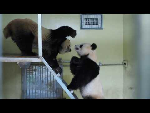 Giant pandas mate in rare ritual at French zoo