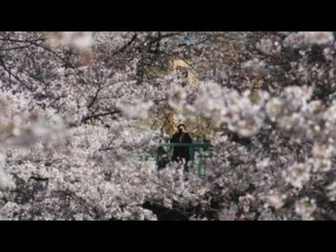 Tokyo enjoys cherry blossoms in full bloom after govt lifts COVID-19 state of emergency