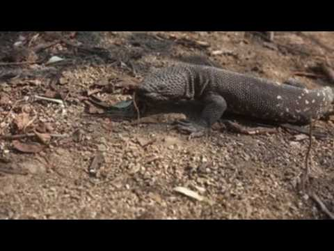 A poisonous lizard survives in the dry forest of Guatemala
