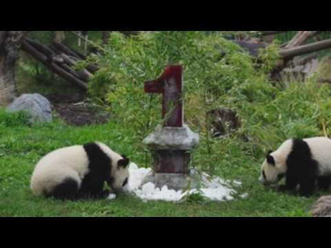 Berlin Zoo celebrates first birthday of pandas Pit and Paule