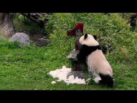 Berlin Zoo pandas celebrate first birthday