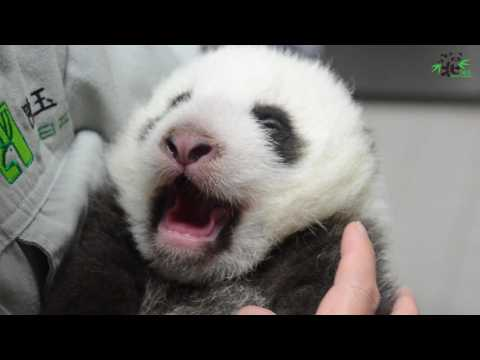Taipei Zoo's baby panda opens eyes for first time