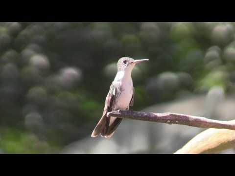 Hummingbirds in a Honduran park attract tourism