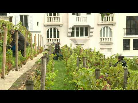 Grape harvest in Montmartre at the foot of the Sacré-Coeur