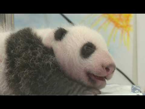 Belgian zoo celebrates twin pandas' first month