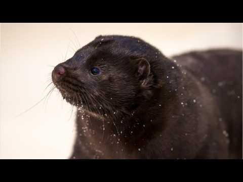 Denmark To Cull Nation's Mink Population After Finding Coronavirus