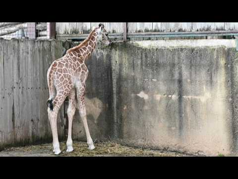 Rare giraffe calf born in French zoo