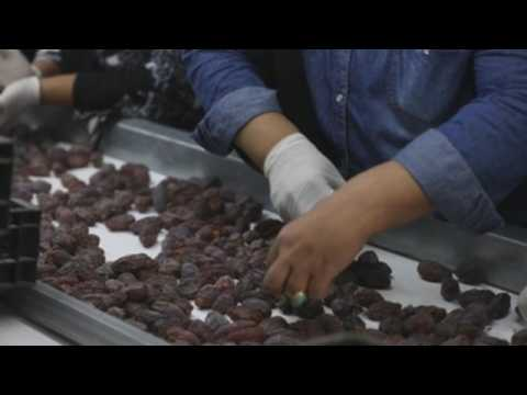 Palestinian farmers want to increase date palm production