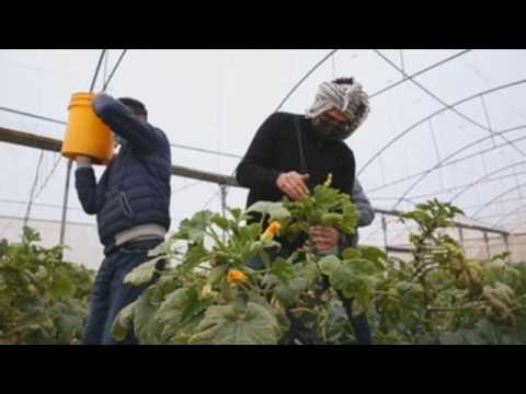 Palestinian farmers collect vegetables