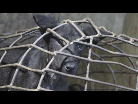 Animal rights activists close notorious Cambodian dog slaughterhouse