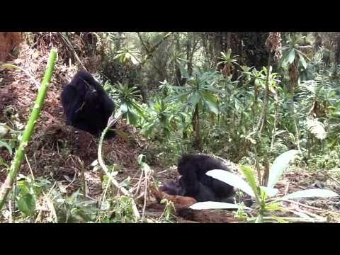 Ce jeune gorille reste à proximité du cadavre de sa mère