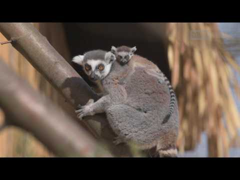 Six Rare Lemurs Born at Zoo