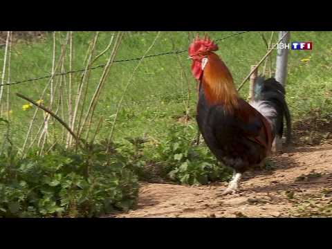 Le coq gaulois, un symbole français menacé