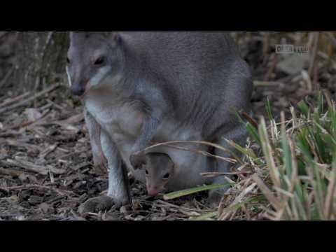 Surprise! Rare dusky pademelon born at Chester Zoo