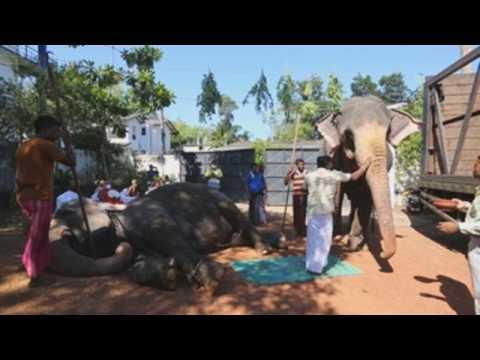 Buddhist monks in Sri Lanka perform oil ritual on elephants