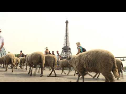 Bleating the traffic: urban sheep tour Paris