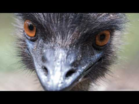 North Carolina's Newest Celeb Is An Emu On The Lam
