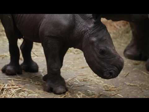 Baby white rhino makes debut at a Belgian zoo