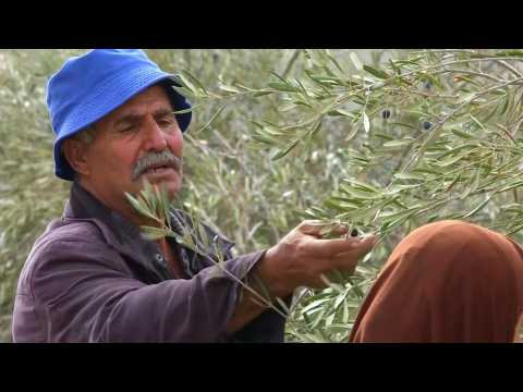 Palestinian farmers rush to harvest their olive trees across Israel separation barrier