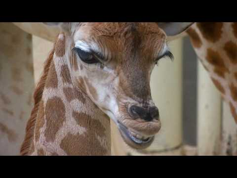 Rare baby giraffe makes public debut at Czech zoo