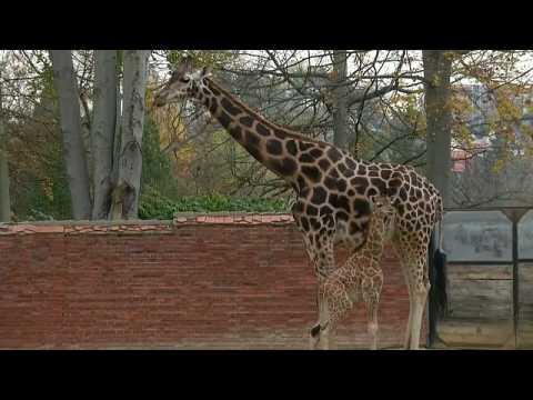 Watch: Endangered baby giraffe makes public debut