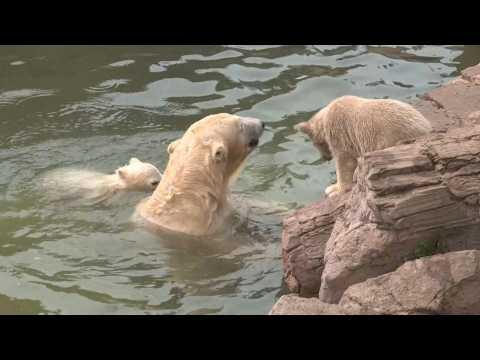 French-born polar bear triplets explore enclosure