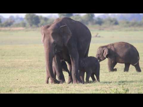 Sri Lanka rangers spot rare baby elephant twins