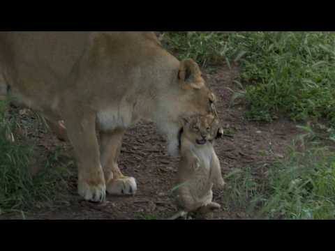Two rare six-week-old Asiatic lion cubs play at Jerusalem Zoo