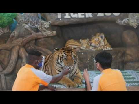 Tiger zoo in Thailand reopens after two month closure due to COVID-19