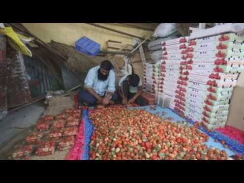 Farmers rejoice strawberry boom as harvest season begins in Indian Kashmir