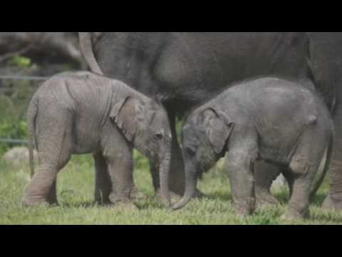Baby elephants enjoy good weather at Prague Zoo