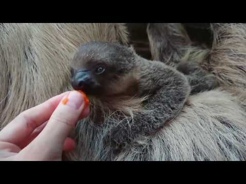 Adorable baby two-toed sloth born