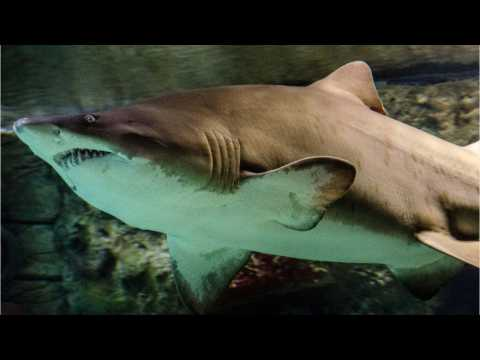 Tiger Shark Found With Jaw Removed, Stomach Cut Out