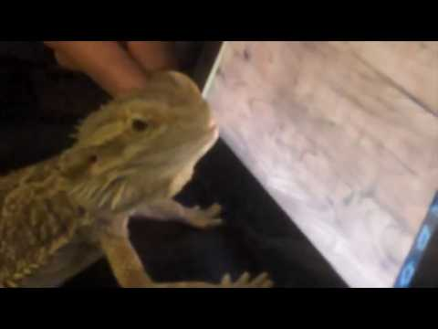 How to prank your bearded dragon