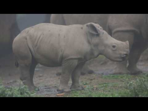 Baby white rhino makes public debut at Indonesia's conservation agency