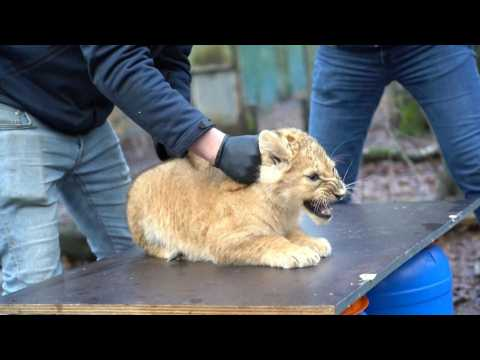 Three lion cubs vaccinated against cat flu at Dutch zoo