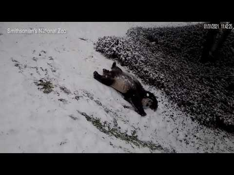 Giant Panda bears play in the snow as winter fall blankets US capital