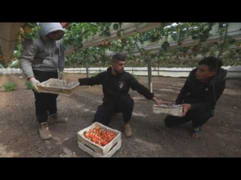 Palestinian farmers harvest strawberries in the West Bank