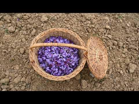 Climate change and coronavirus hit Kashmir's saffron farmers